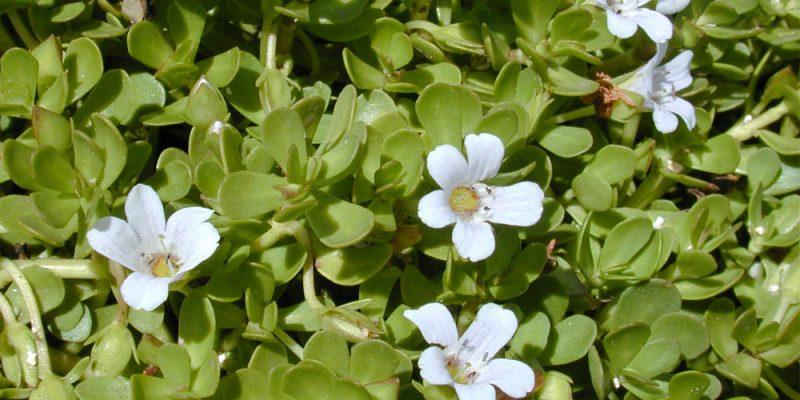 gyógynövény brahmi